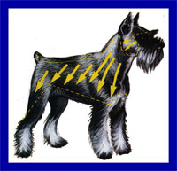 a well breed Standard Schnauzer dog