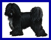 a well breed Tibetan Terrier dog