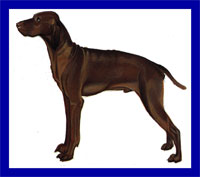 a well breed Vizsla dog