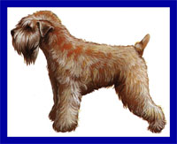 a well breed Soft Coated Wheaten Terrier dog