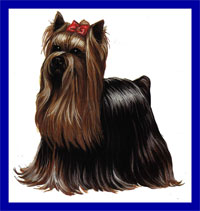 a well breed Yorkshire Terrier dog