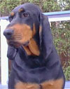 Click here for more detailed Black And Tan Coonhound breed information and available puppies, studs dogs, clubs and forums
