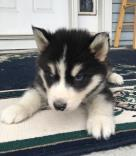 Featured Puppy for Sale