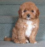 Charles spaniel shih tzu maltese dog breeder marie louise burton